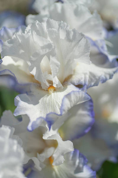 Photograph - Beauty Of Irises. Queens Circle by Jenny Rainbow