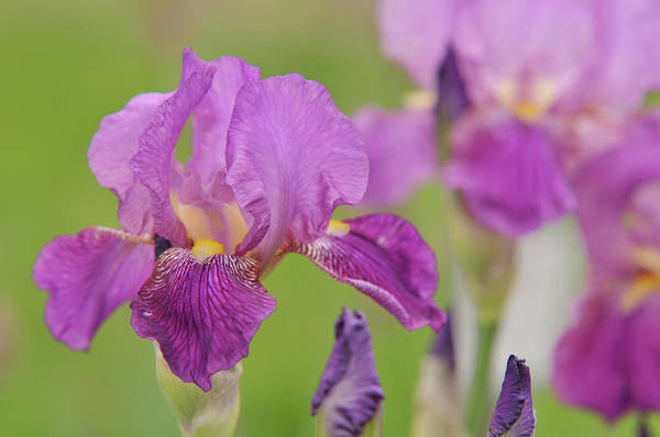 Photograph - Beauty Of Irises. Rota by Jenny Rainbow