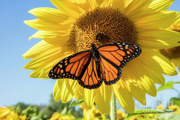 Loving Photograph - Beauty On The Sunflower by Jon Neidert