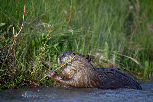 Wall Art - Photograph - Beaver Castor Canadensis Feeding In by James Hager / Robertharding