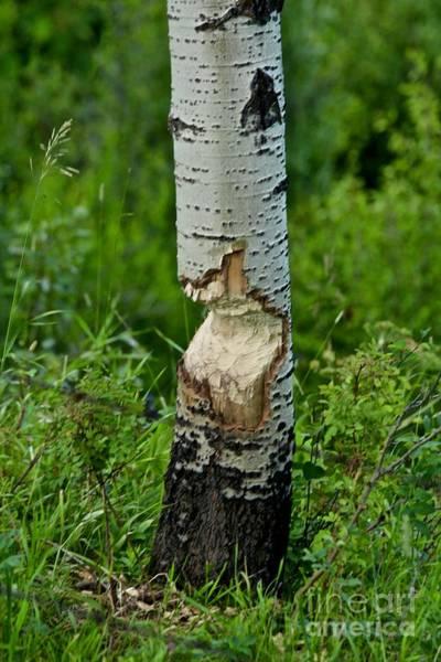 Photograph - Beaver Work by Ann E Robson
