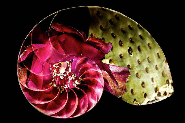 Photograph - Beavertail Bloom In Nautilus Shell by James Sage
