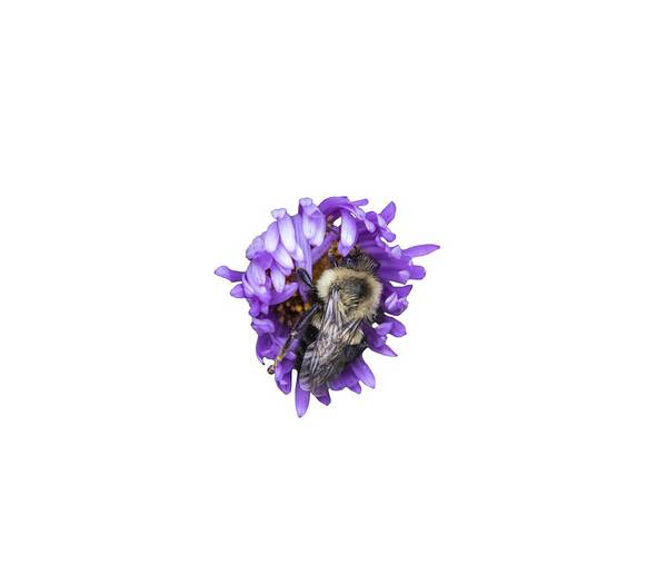 Wall Art - Photograph - Bee 2018-1 Isolated by Thomas Young