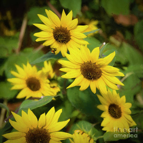 Photograph - Bee And Sunflowers by Jon Burch Photography