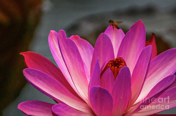 Photograph - Bee And Water Lily by Tom Claud