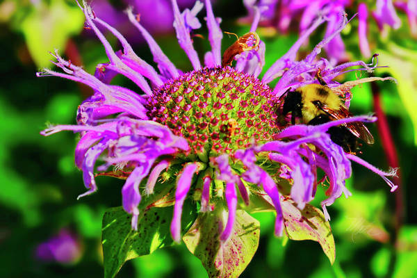Photograph - Bee Balm by Meta Gatschenberger