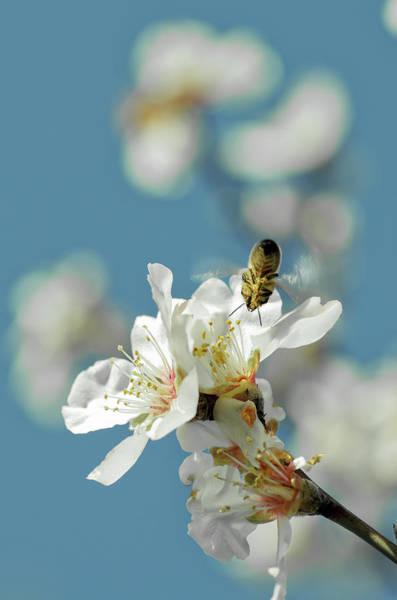 Bee Flying Towards Almond Blossom Art Print