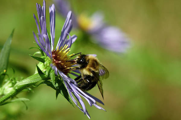 Wall Art - Photograph - Bee In Aster by Paul Freidlund