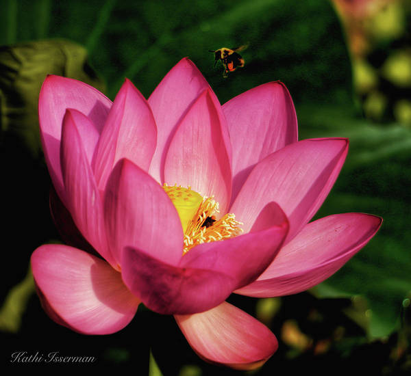 Wall Art - Photograph - Bee Meets Lotus by Kathi Isserman