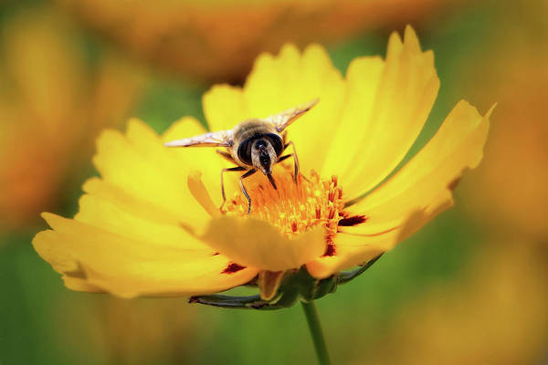Wall Art - Photograph - Bee On A Flower by Jan Fidler