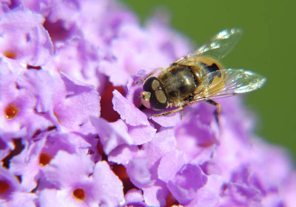 Photograph - Hoverfly On A Purple Flower by Jonny Jelinek