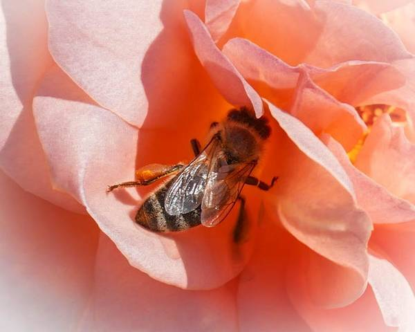 Photograph - Bee On A Rose by Susan Rydberg