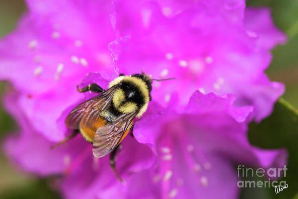 Photograph - Bee On Azalea by Alana Ranney