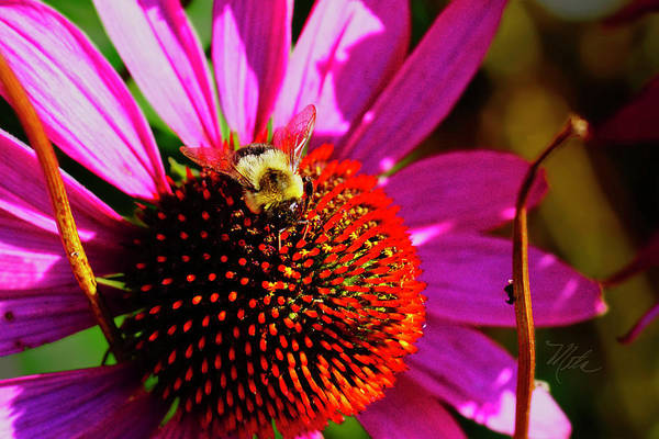 Photograph - Bee On Cone Flower by Meta Gatschenberger