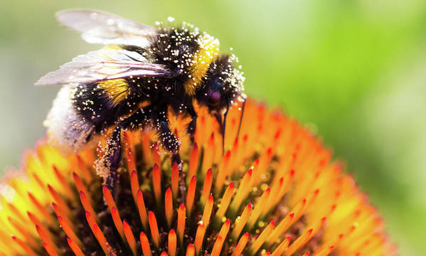 Bee On Flower Wall Art - Photograph - Bee On Echinacea Flower by Getty Images Verkauf