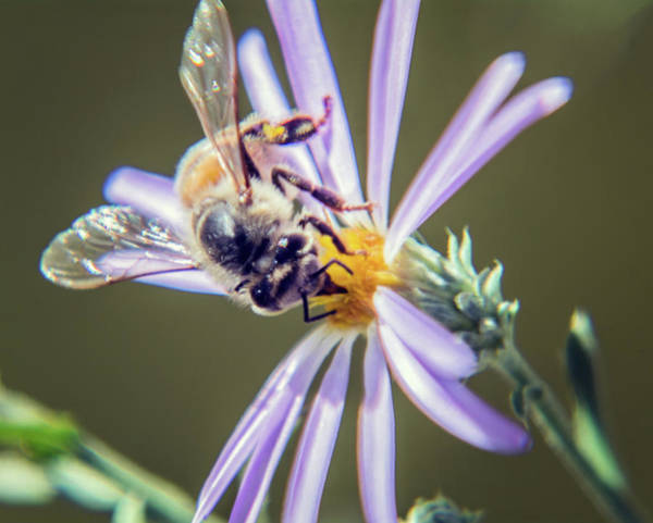 Photograph - Bee On Flower 4185-101218-1cr by Tam Ryan