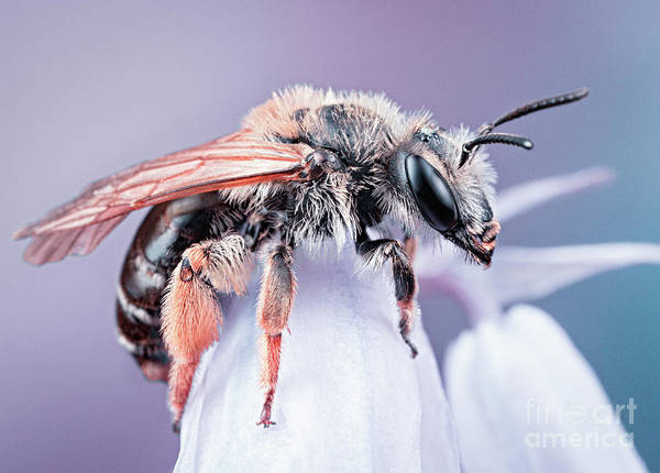 Photograph - Bee On Flower by Marco Fischer