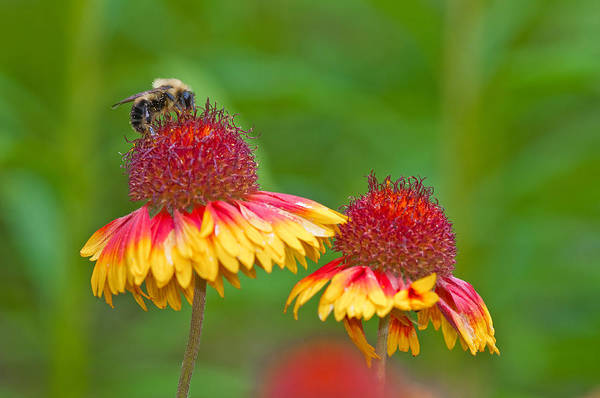 Photograph - Bee On Flower by Michael Lustbader