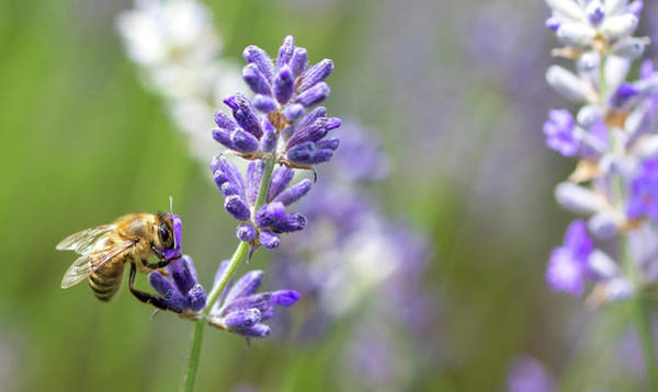 Photograph - Bee On Lavender by Rebecca Cozart