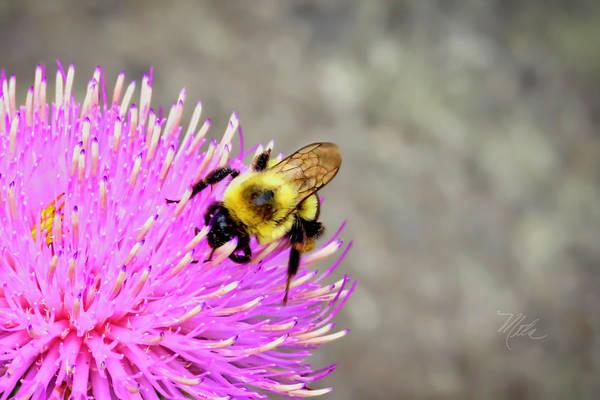 Bee On Pink Bull Thistle Art Print