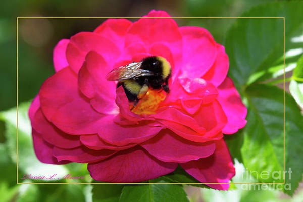 Photograph - Bee On Rose With Border by Donna L Munro
