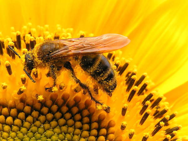 Bee On Flower Wall Art - Photograph - Bee On Sunflower by Eriko Shinozuka