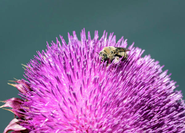 Photograph - Bee On Thistle by Michael Chatt