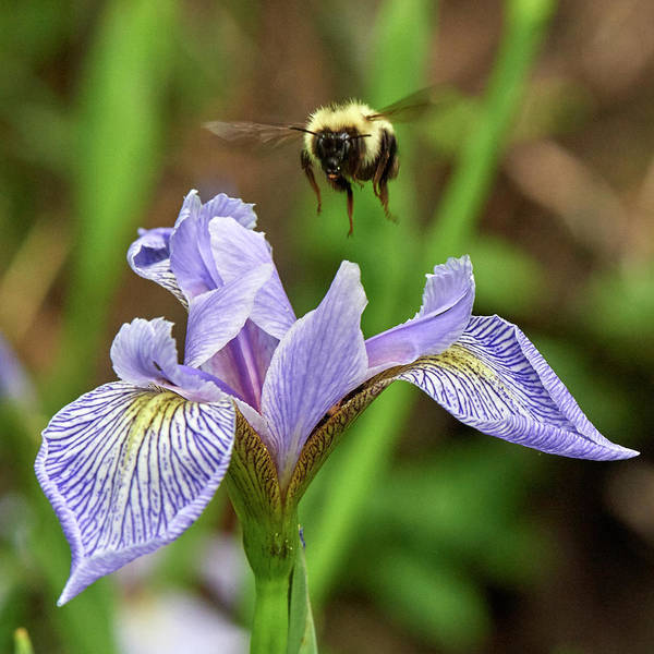 Wall Art - Photograph - Bee Over Wild Iris by Paul Freidlund