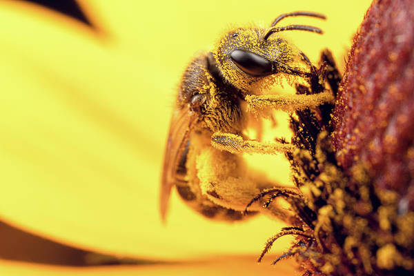 Photograph - Bee Vs Pollen by Brian Hale