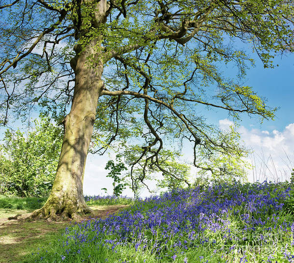 Photograph - Beech And Bluebells by Tim Gainey