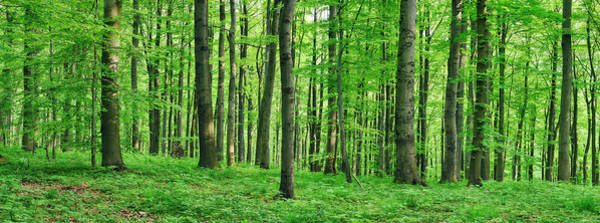 Wall Art - Photograph - Beech  Forest In Spring by Martin Ruegner