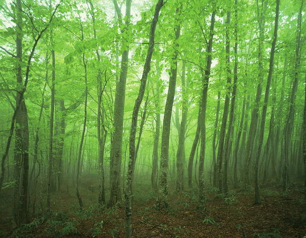Wall Art - Photograph - Beech Forest Shrouded In Fog,  Towada by Gyro Photography/amanaimagesrf