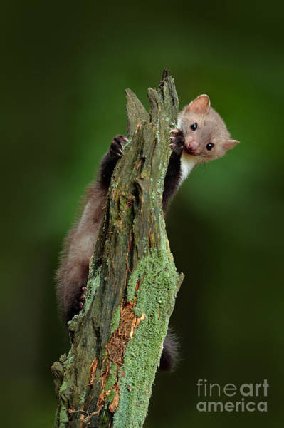No-one Wall Art - Photograph - Beech Marten, Martes Foina, With Clear by Ondrej Prosicky