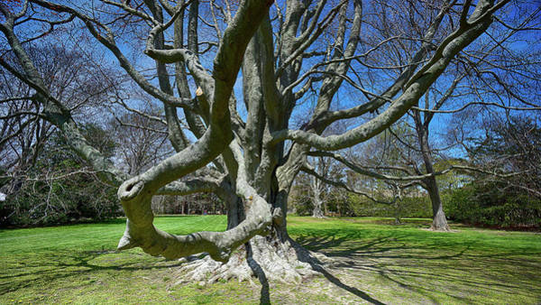 Photograph - Beech Tree At The Breakers by William Jobes
