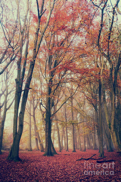 Photograph - Beech Wood by Tim Gainey