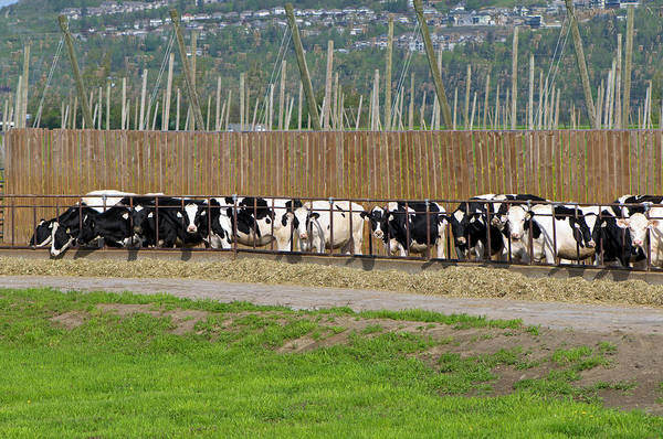 Photograph - Beef Cattle Feeding On Hay by Sharon Talson
