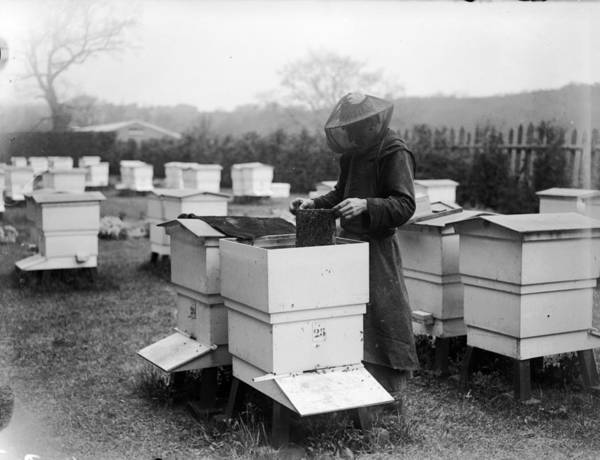 Protective Clothing Photograph - Beekeeping by Fox Photos