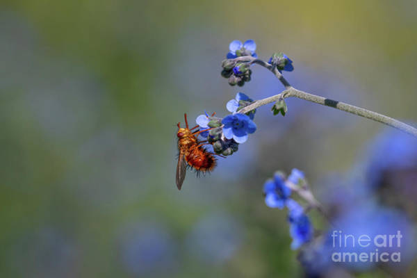 Pollinator Wall Art - Photograph - Beelike Tachanid Fly by Jeremy Dufault