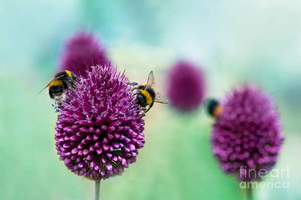 Beauty In Nature Wall Art - Photograph - Bees On Allium Sphaerocephalon.  Allium by Onelia Pena