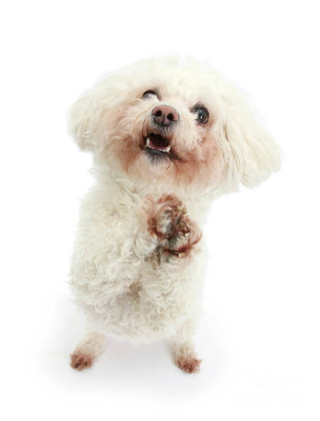 Photograph - Begging Bichon by Warren Photographic