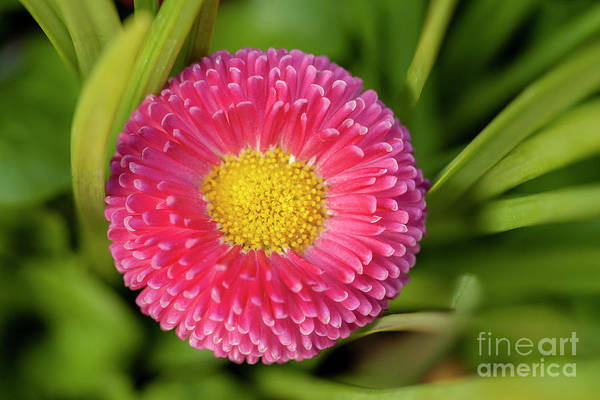 Wall Art - Photograph - Bellis Daisy Flower Close Up In Spring Time by Simon Bratt Photography LRPS