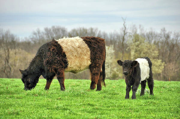 Photograph - Belted Galloway by JAMART Photography