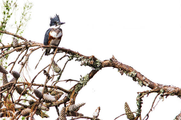 Photograph - Belted Kingfisher by Bob Decker