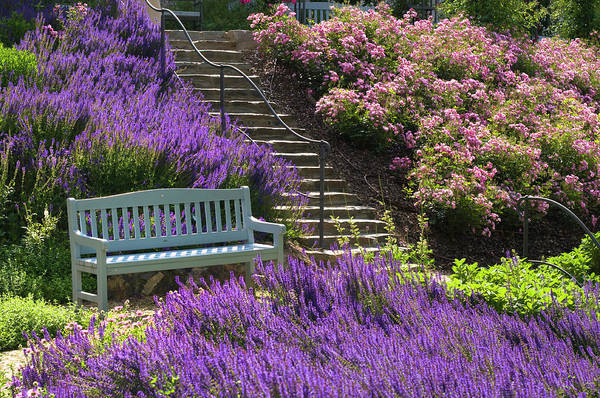 Photograph - Bench In Rose Garden by Jenny Rainbow