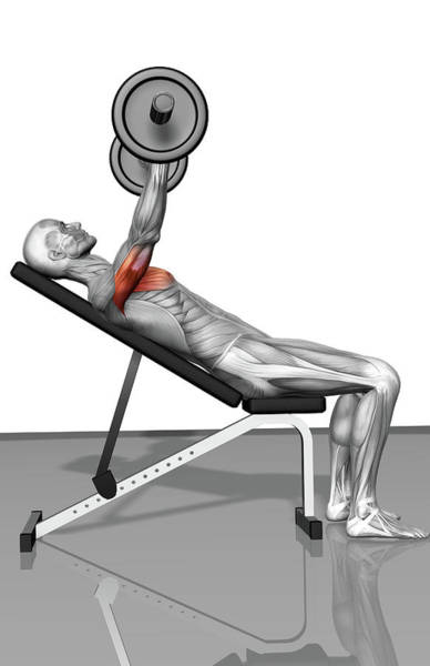 Anatomy Digital Art - Bench Press Incline Part 1 Of 2 by Medicalrf.com