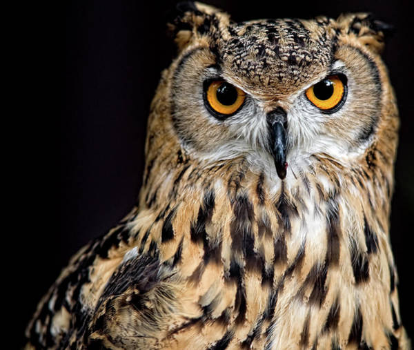 Jurong Bird Park Photograph - Bengal Eagle Owl Stare by Andrew Jk Tan