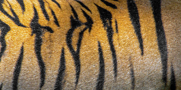 Wall Art - Photograph - Bengal Tiger Back Extreme Close Up by Panoramic Images