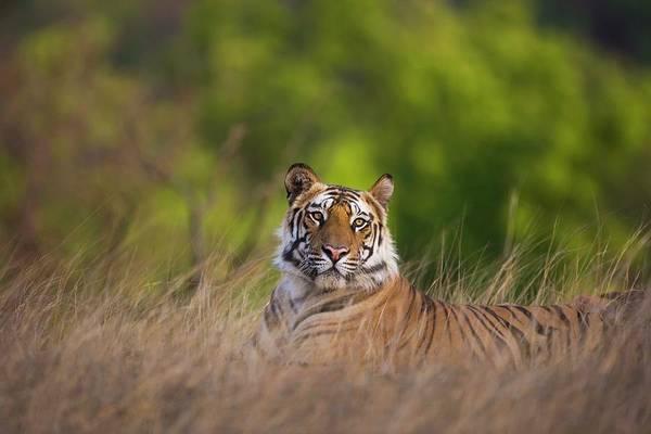 Selective Focus Photograph - Bengal Tiger by Jami Tarris