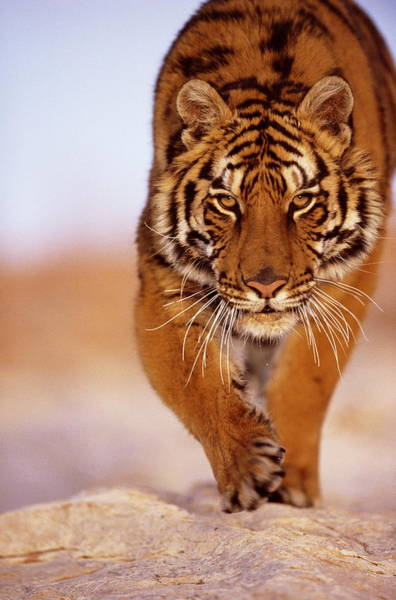 Photograph - Bengal Tiger Panthera Tigris, Close-up by John Giustina