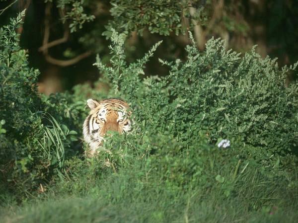 Hiding Photograph - Bengal Tiger Panthera Tigris Peering by Dominic Barnardt